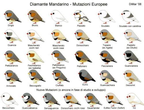 Mutazioni e dimorfismo sessuale nei Diamanti Mandarini