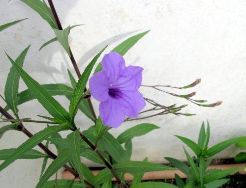 Petunia Messicana – Ruellia simplex C. Wright