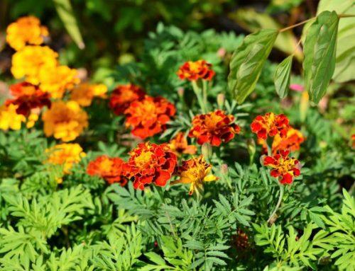 7 piante che tengono alla larga le zanzare
